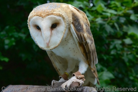 Theo, a Barn Owl, contemplates take-off