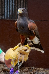 Sage, a Harris's Hawk