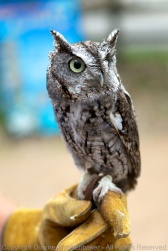 Buddy, an Eastern Screech Owl, posing for the camera