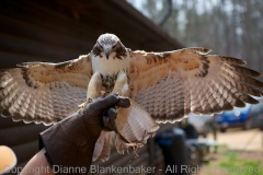 Cody, the Red-tailed Hawk, coming in for a landing