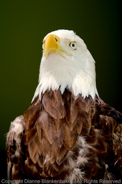 Ocie looking stoic like only a Bald Eagle can