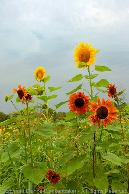 Repeating shapes of sunflowers popping above the rest of the flowers