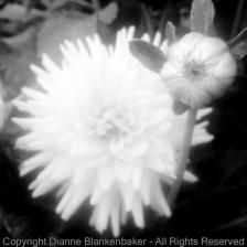 Photo 6: Sharp bud, blurry flower