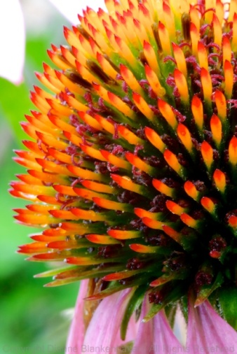 Center of a Cone Flower