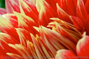 Looking into a dahlia