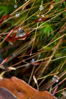 "Water droplet hanging on the tiny ""blooms"" sticking out of moss"