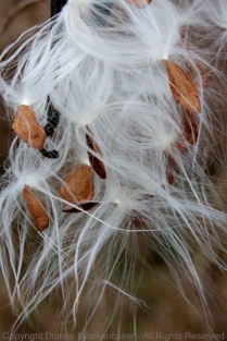 Milkweed about to take flight