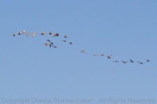 Stream of Sandhill Cranes