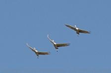 Sandhill Cranes closer