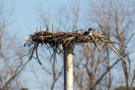 Belted Kingfisher on an Osprey nest