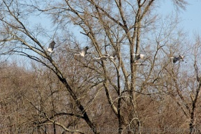 Sandhill Cranes flying through trees