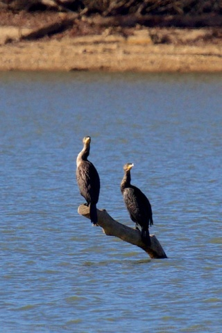 Double double-crested cormorants
