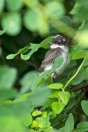 Fledgling Eastern Kingbird