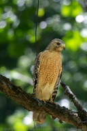 Red-shouldered hawk watching for prey