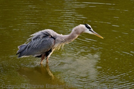 Great Blue Heron shaking off the water after diving for a frog and missing