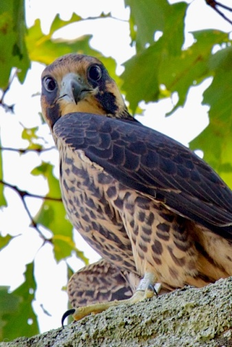 Peregrine falcon (2 weeks after being released following rehab)
