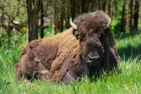 Lounging bison