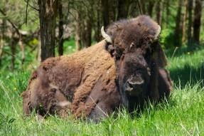 Lounging bison