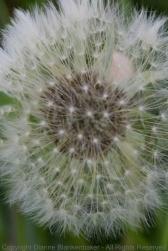 Same Dandelion at f/16