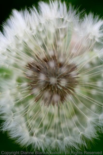 The inside of the dandelion (f/2.8)