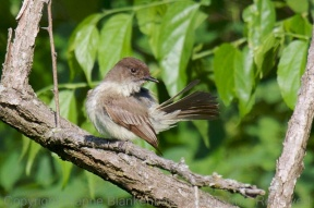 I was very happy to have recovered this image of an Eastern Phoebe grooming