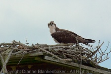 Just one more from the collection of Osprey shots recovered