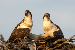 Osprey Teenagers at Blythe Ferry