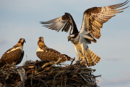 Mom Osprey returns to the nest