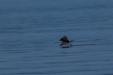 Osprey mom drags her feet across the lake as the sun sets, perhaps trying to lure fish