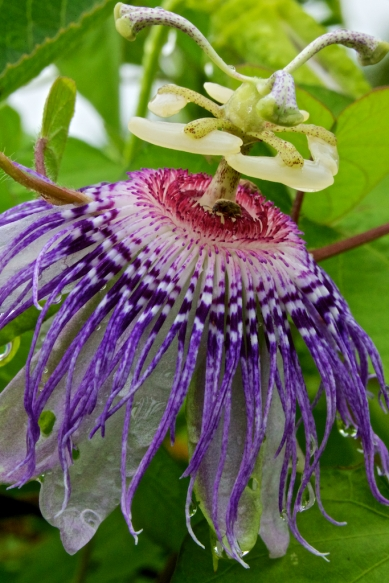 A passion flower drooping in the summer heat