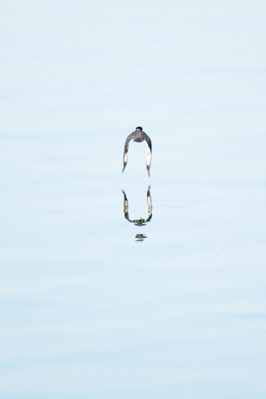 Belted Kingfisher reflected on the Tennessee River at dawn