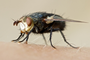 Bizarre looking fly appears quite content