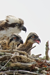 Mom Osprey sticking close by two chicks