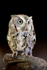 Eastern Screen Owl gray form