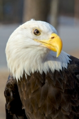 One-winged Bald Eagle who went hang gliding