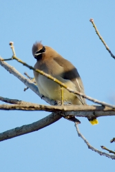 Cedar Waxwing with a head tilt