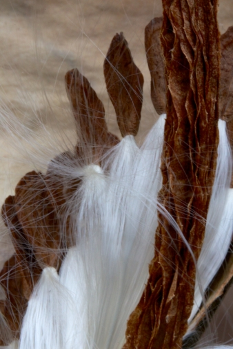 A milkweed seed feels the wind before taking a leap