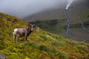 A Big Horn Sheep hanging out on the HIghline Trail in Glacier National Park, Montana