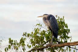 A Great Blue Heron appeared to be enjoying the sunrise on the Chattanooga riverfront
