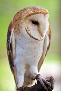 Barn owl human imprint