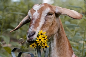 Goat eating flowers