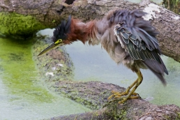 A Green Heron gives himself a thorough shake after catching a fish in murky water