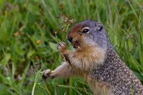 A Ground Squirrel in Glacier National Park eating his natural food (instead of being fed by tourists)