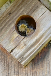 Baby Eastern Bluebirds peer out of a bluebird house in Renaissance Park, Chattanooga, hoping one of their parents is bringing food