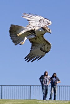 Using one selection point and back-button continuous focus, I was able to capture this hawk flying through a local park